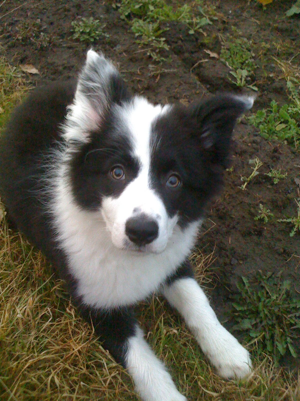 Jet My Beautiful Border Collie Collie Puppies Collie Dog Dogs