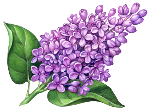 Image Result For Lilac Tattoo Ideas Flower Drawing Lilac Tattoo Flower Painting
