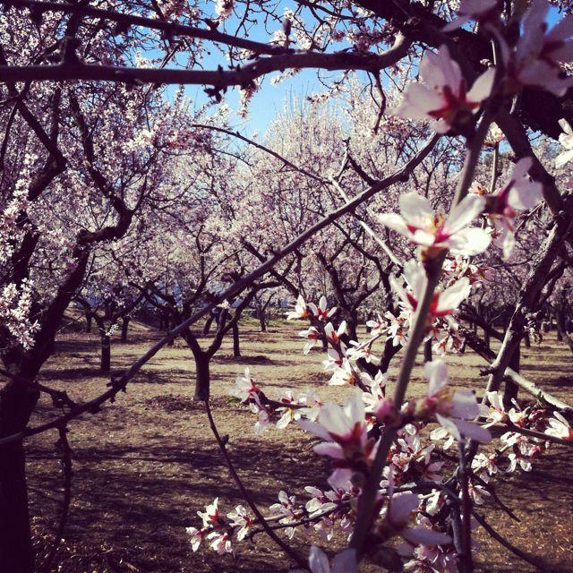 Blossom at Parque Quinta de los Molinos, Madrid