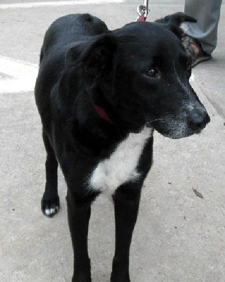 06 08 14 Amelia Labrador Retriever Collie Mix Adult Female Medium Smiling Dog Farms Houston Tx Adopt Smiling Dogs Dogs Dogs Puppies