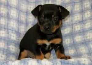 Milo Is An Adoptable Miniature Pinscher Dog In Abingdon Md Hi My