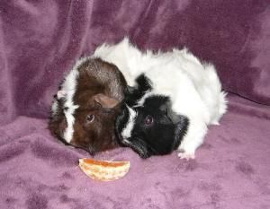 Pin On Adopt A Guinea Pig