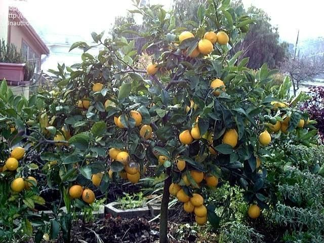 View Picture Of Meyer Lemon Tree Meyer S Lemon Tree Valley Lemon