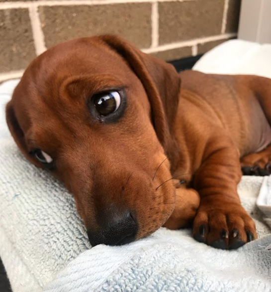 Cute Pictures Of Wiener Dogs