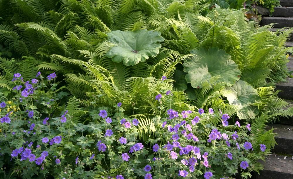 blattschmuckpflanzen faszinierende farne garten pinterest garten pflanzen und tropischer. Black Bedroom Furniture Sets. Home Design Ideas
