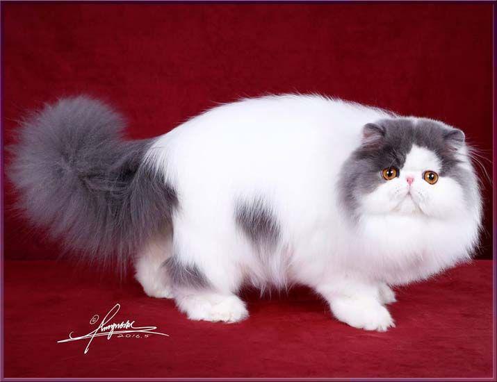 TOY TRICKSY персидские кошки persian cats   Cats, Persian