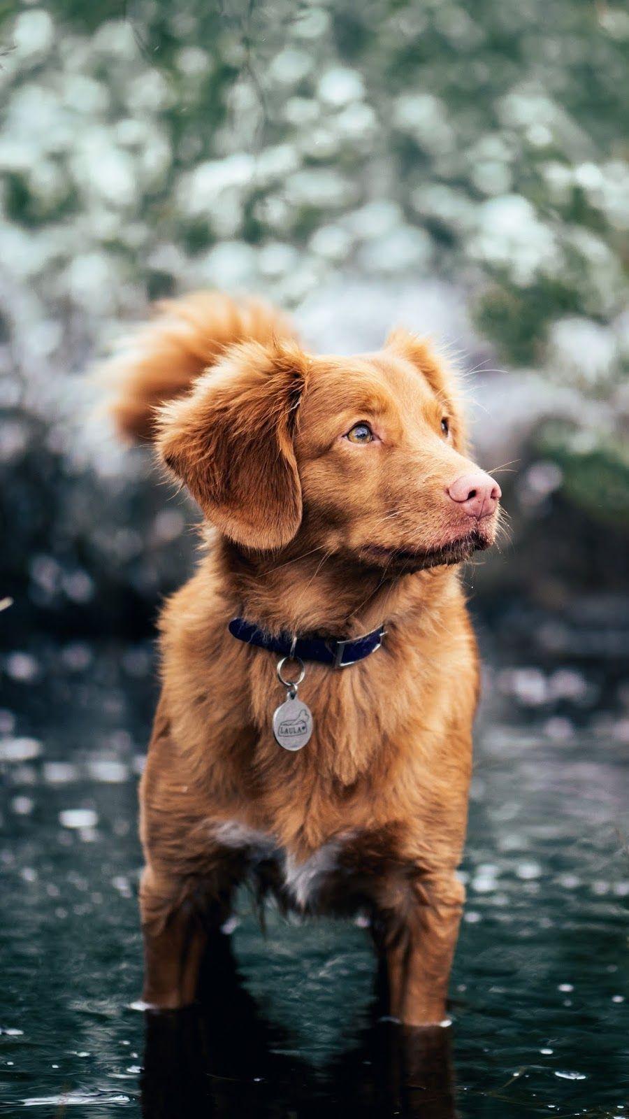 Animals dog water walk id 46168 puppies golden