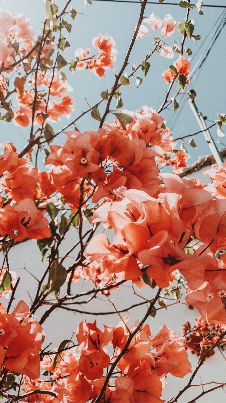 Pretty coral bougainvillea bush tree. Bougainvillea