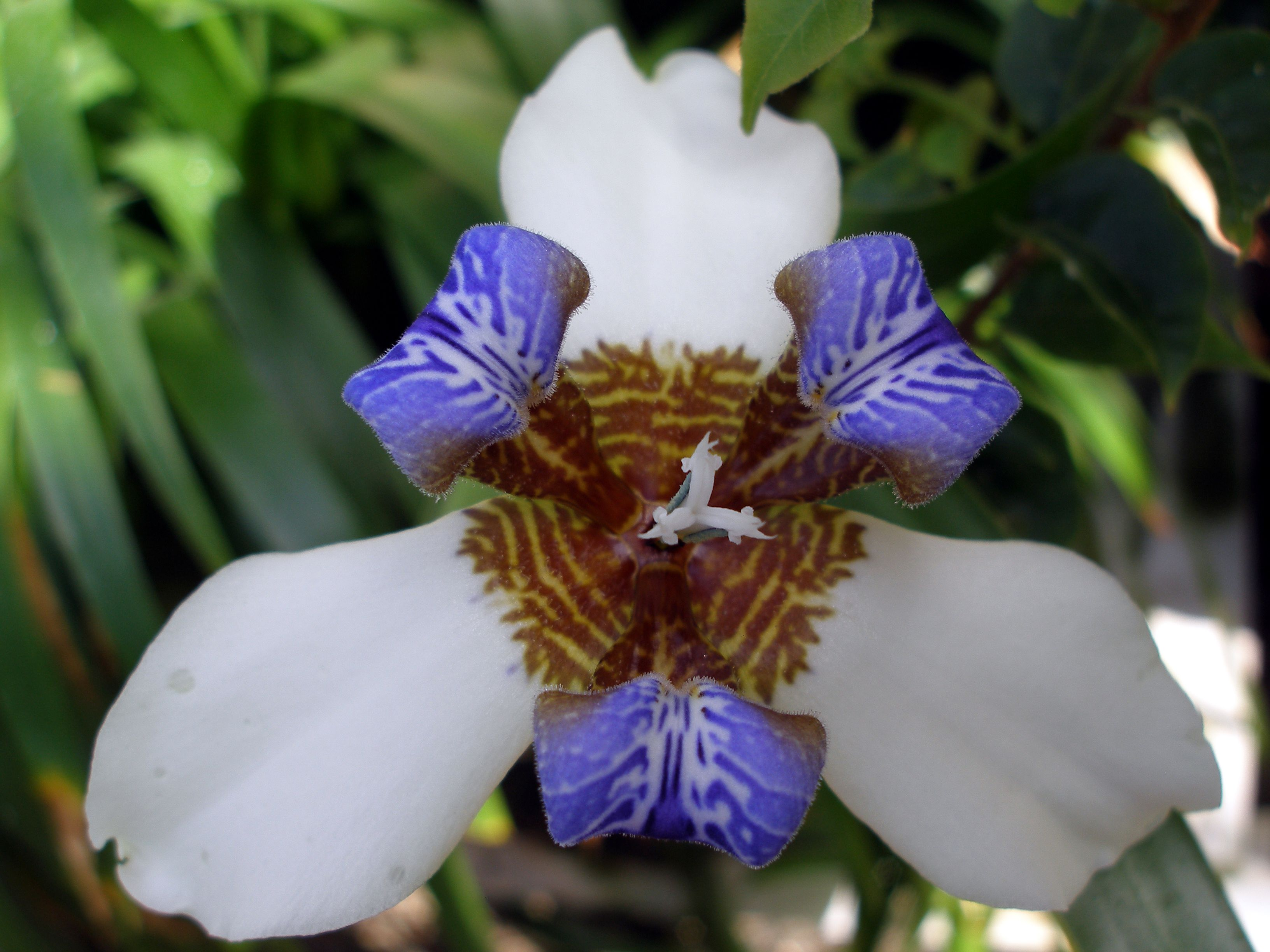 Walking iris neomarica northiana family iridaceae p garden walking iris neomarica northiana family iridaceae propagates by thick rhizome and the plantlets that develop from stem where flowers once emerged izmirmasajfo