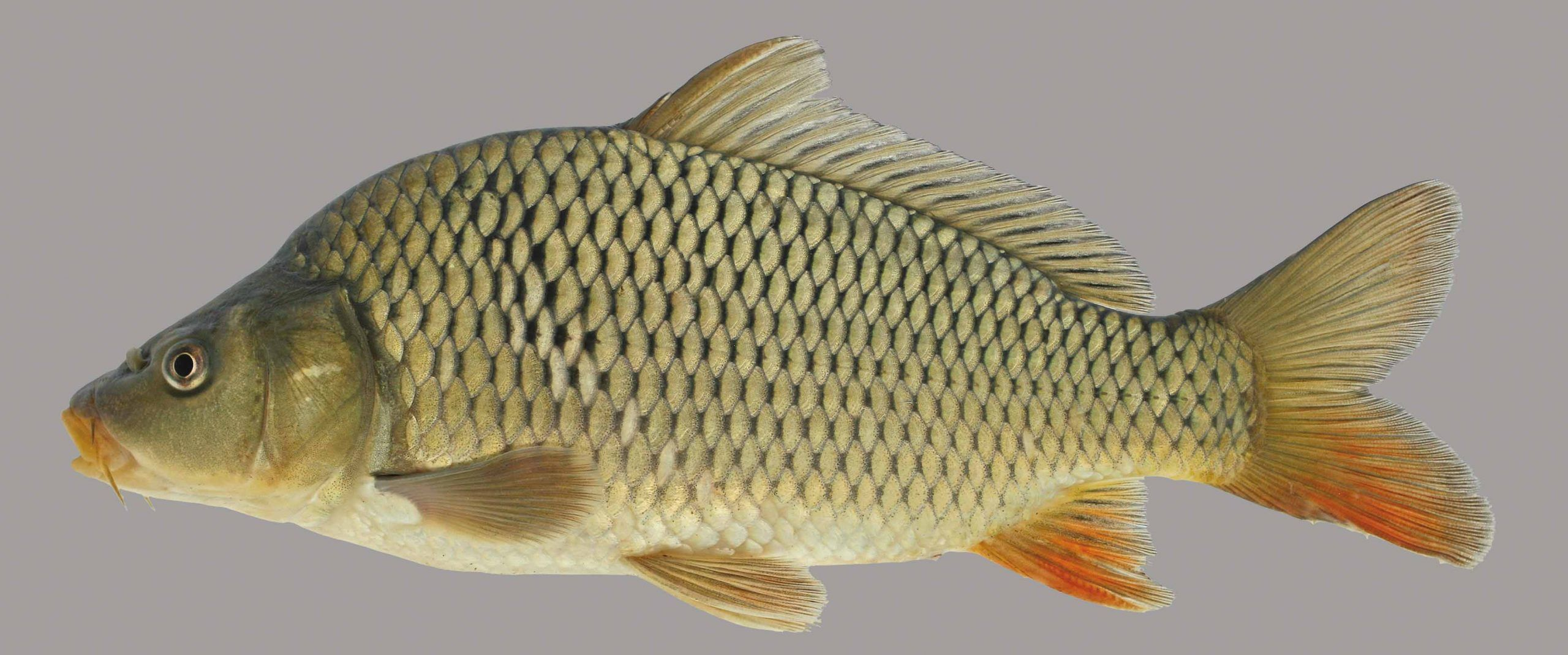 Common Carp Common Carp Fish Fish Gallery