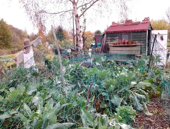 Cabbages and stuff under the anti pigeon netting. Dec 2013