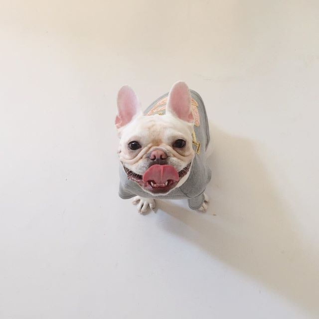 This Is Lil Kush A French Bulldog Puppy From Nyc Lil Kush Ny On Instagram French Bulldog Little Dogs Puppies