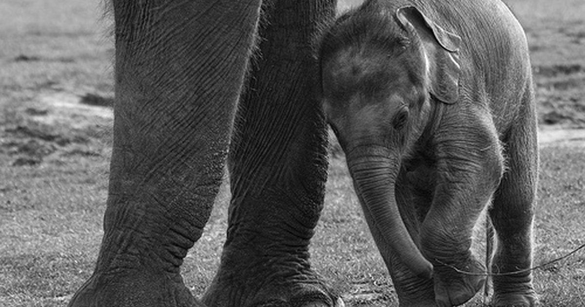 Ciclos de vida del elefante | El elefante, Ciclos de vida y Elefante ...