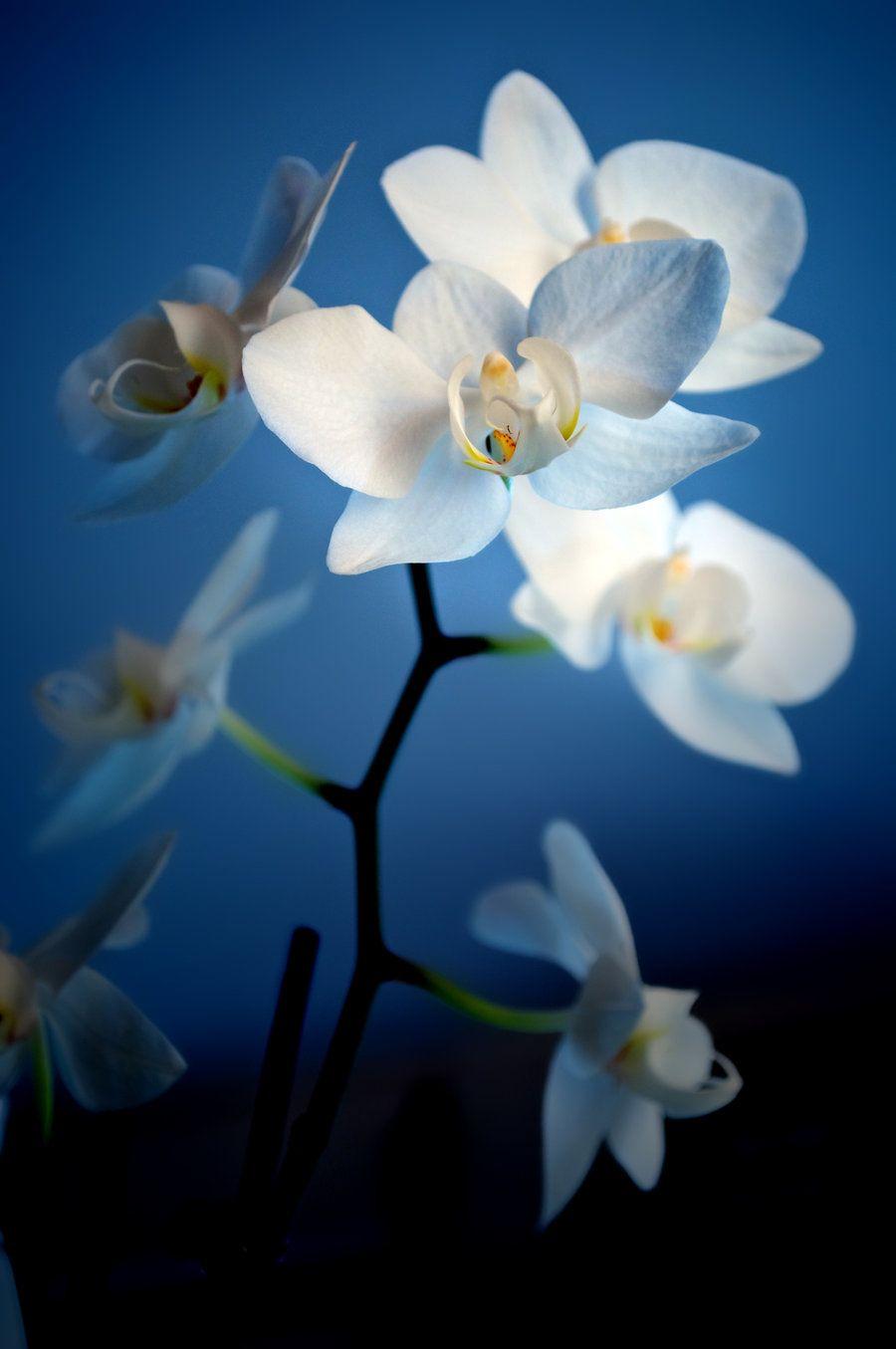 Blue orchid plants for sale plants nature
