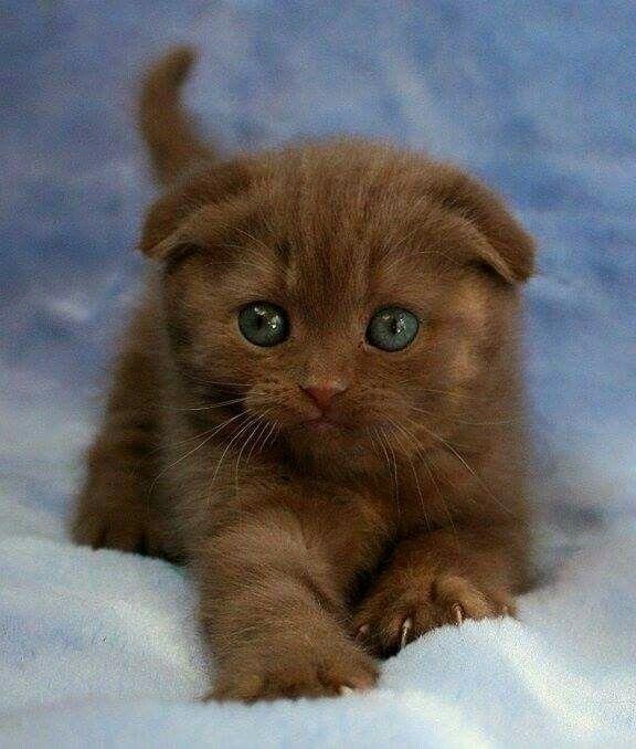 Chocolate Fold Scottish Fold Kittens Cat Scottish Fold