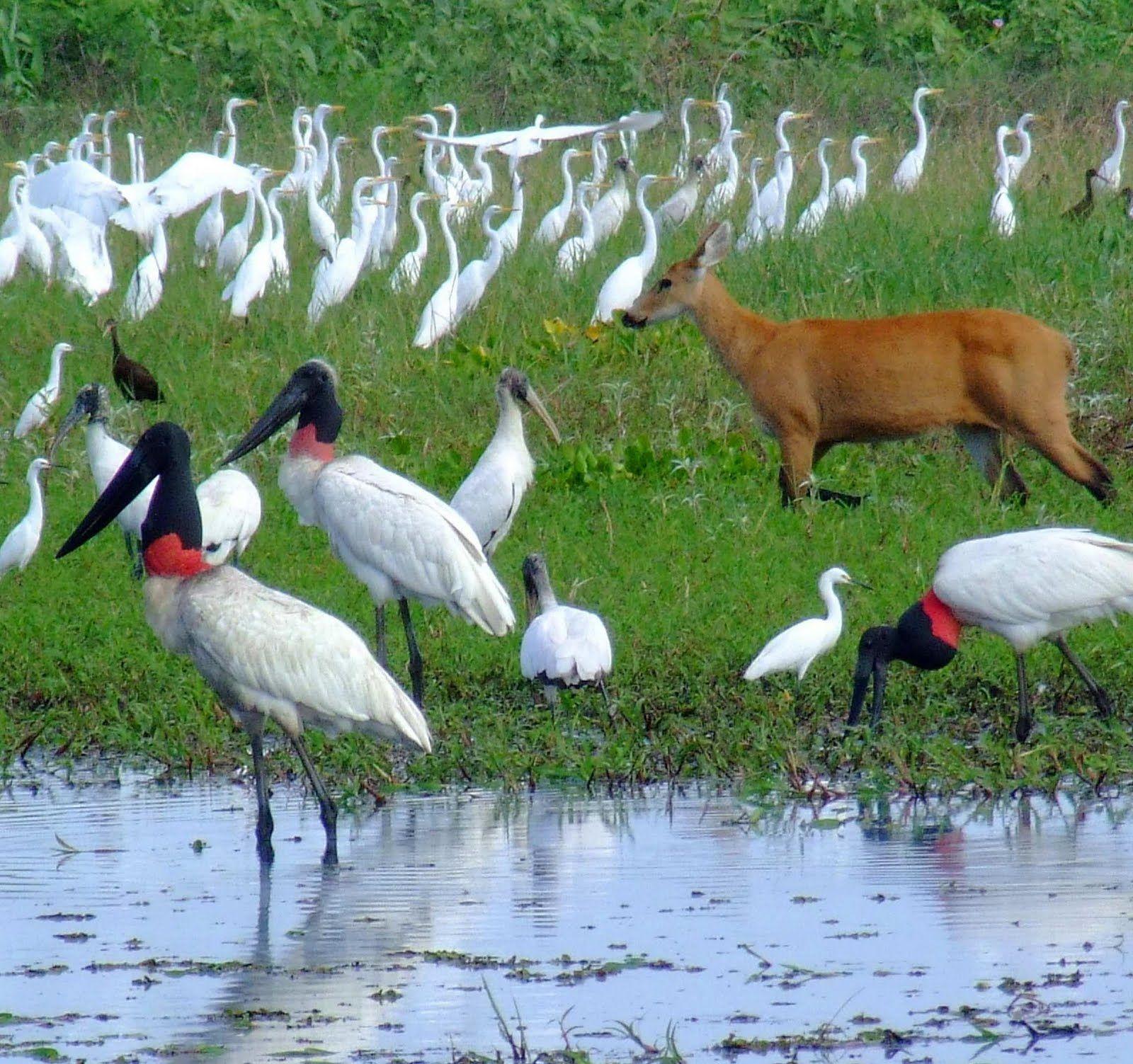 Fauna Do Pantanal Matogrossense Brasil Em 2020 Pantanal Matogrossense Pantanal Mato Grossense Pantanal Brazil