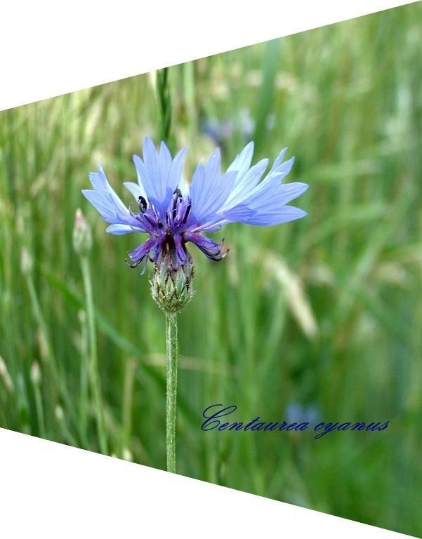 ~`Kornblumen Blau~