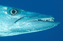 Barracudas are elongated fish, pike-like in appearance, with prominent sharp-edged fang-like teeth, much like piranhas, that are all of different sizes which are set in sockets of their large jaws.