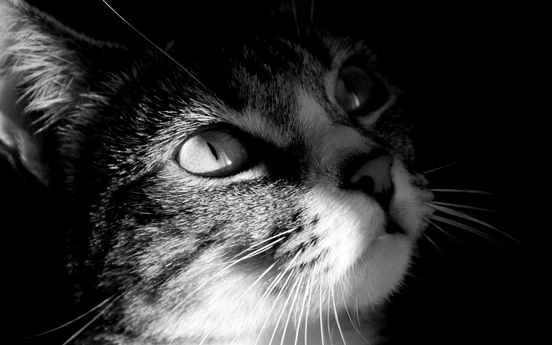 Cute Cat Black And White Desktop Wallpaper White Cats Cats Cat Photography