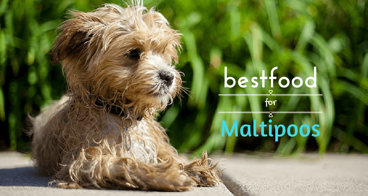 Best Foods for Maltipoos Maltipoo dog, Cutest small dog