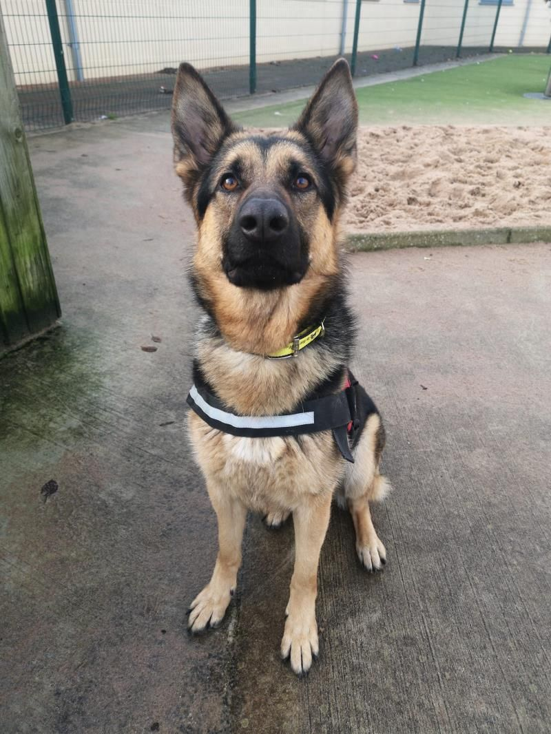 Adopt A Dog Logan German Shepherd Dog Gsd Alsatian Dogs Trust Dogs Rehoming Rehome Dog