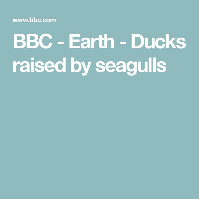 BBC - Earth - Ducks raised by seagulls