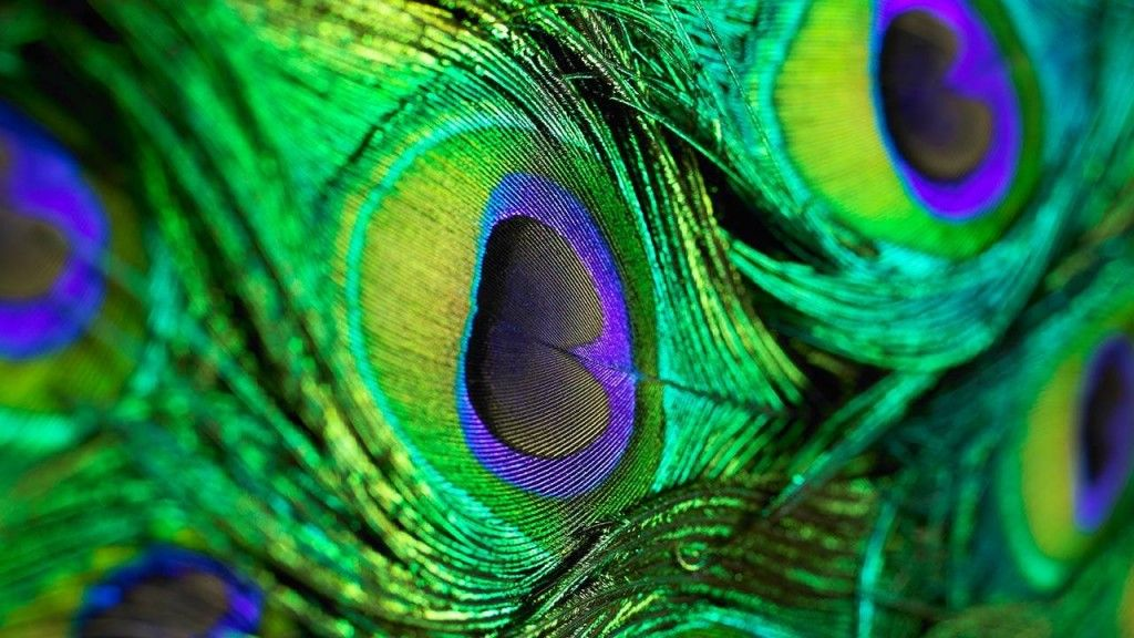 Peacock Feather Live Wallpaper