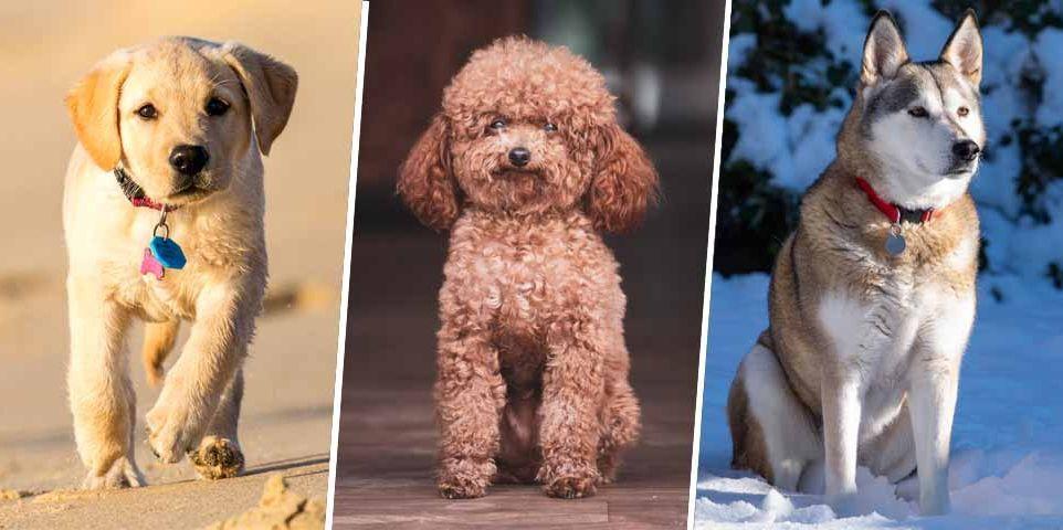 ペットとして飼うなら 頭の良い 犬種15 軍用犬 犬 犬の品種