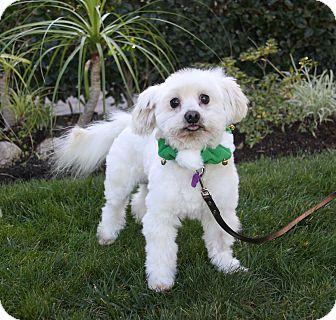 Newport Beach Ca Maltese Mix Meet Chad A Dog For Adoption