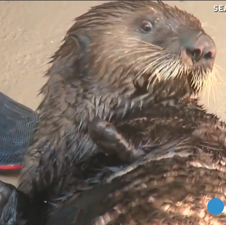 An Otter Learned How To Use An Inhaler After Getting Asthma