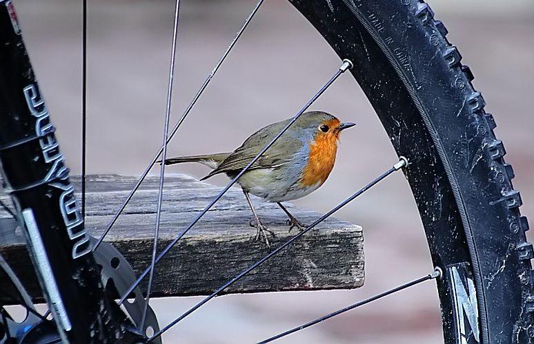 Robin, Rødkælk, Rødhals, bird, cute, nuttet, precious, cute, nuttet, beauty, wheel, photo