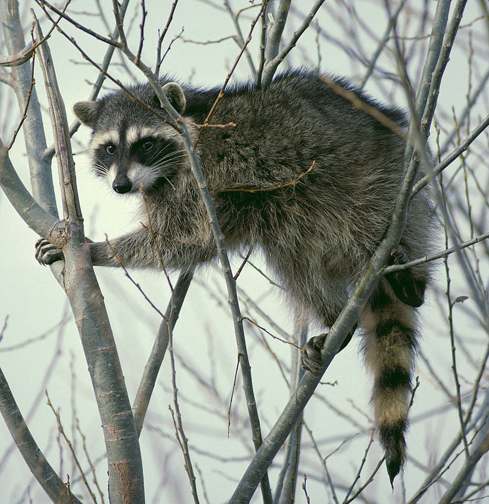 Everything That S Wrong Of Raccoons Animals Pet Raccoon Spirit Animal