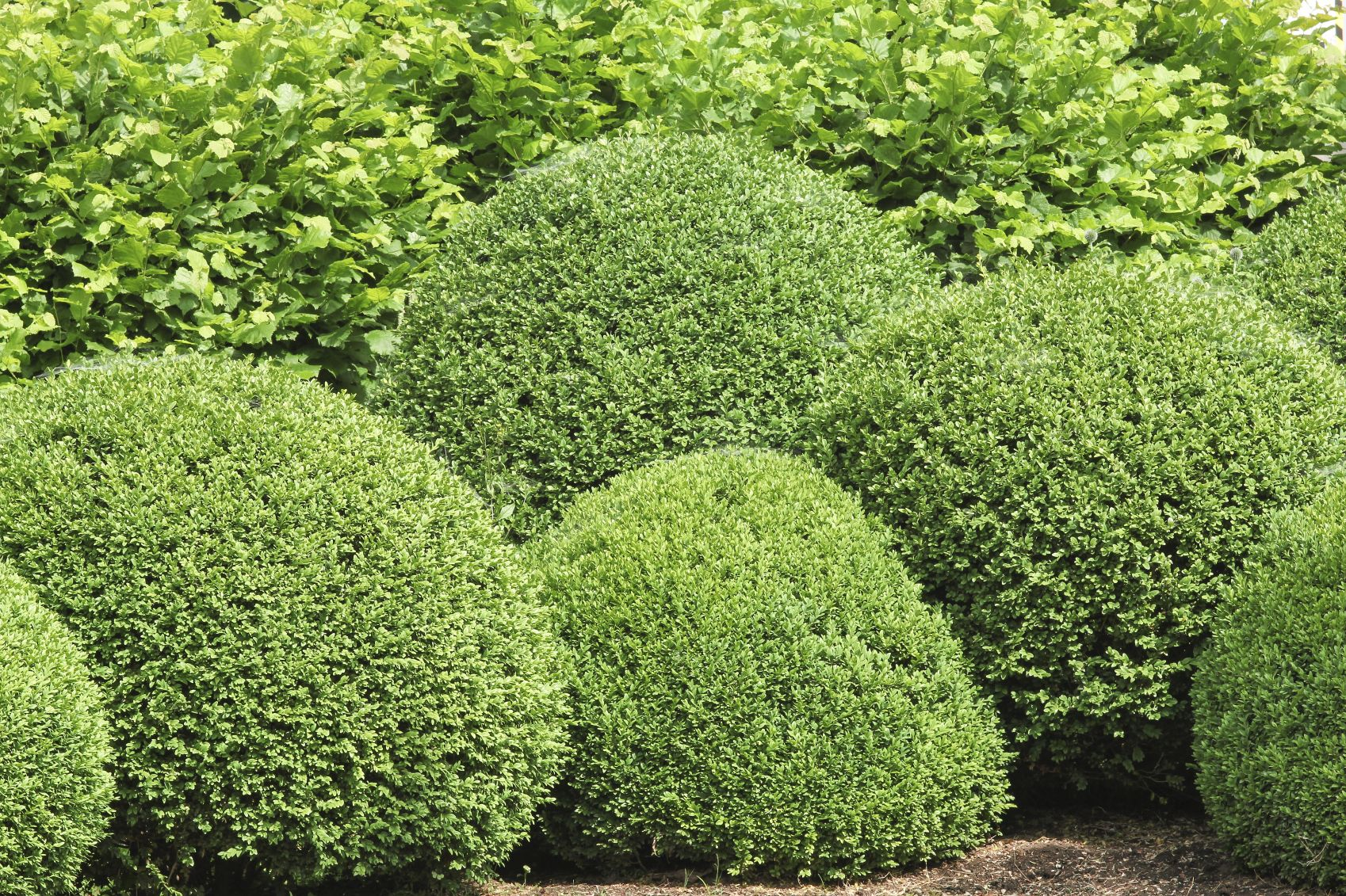 Boxwood Bush Types What Are Some Good Buxus Varieties To Grow Green Velvet Boxwood Shade Shrubs Box Wood Shrub