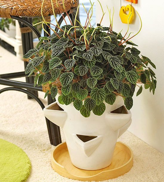 Peperomia Get detailed growing information on this plant and hundreds more in BHG's Plant Encyclopedia.