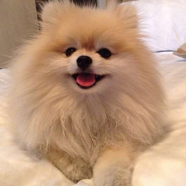 Image result for pomeranian dog, in the window of my house