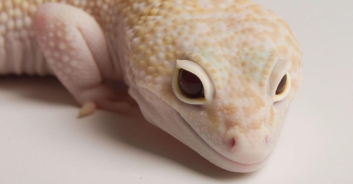 Gecko Leopardo / Leopard Gecko Lenny 1.0 Mack Snow RAPTOR | Geckos ...