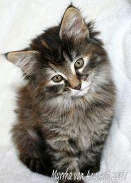 Verwonderend noorse boskat kittens - Google zoeken | Kitties and Other Cuties AZ-43