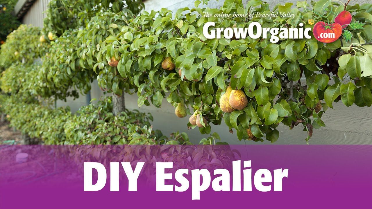 How to Grow an Espalier Espalier fruit trees, Growing