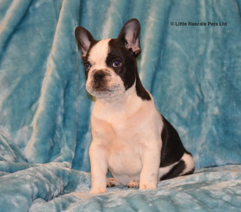 Charlie Our French Bulldog Puppy Pedigree Puppies For Sale