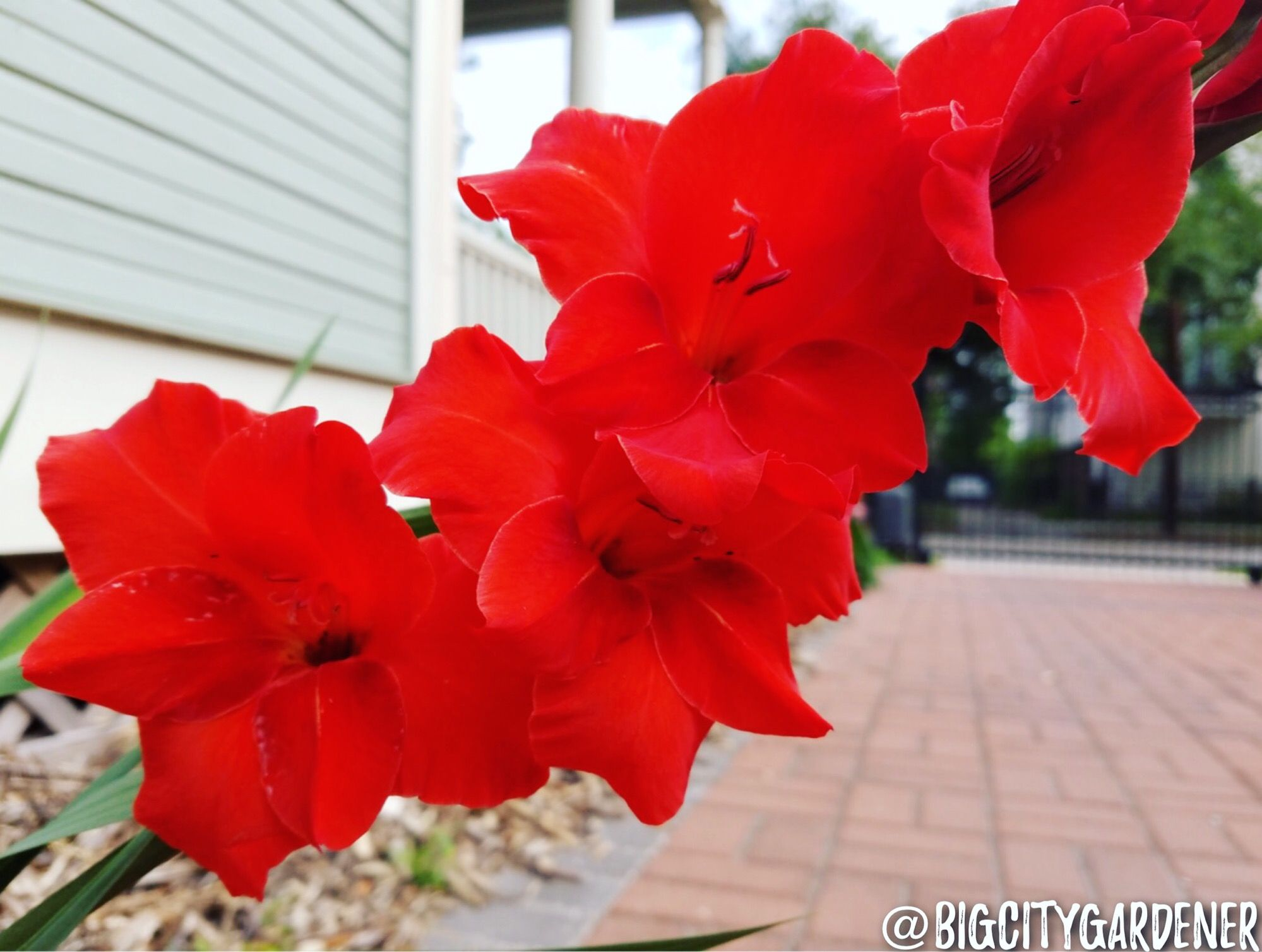 Gladiolus sometimes referred to as a sword lily derived