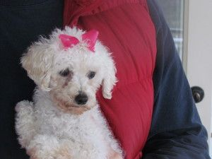Eva 3 5 Lbs Is An Adoptable Poodle Dog In Gainesville Ga Hi My