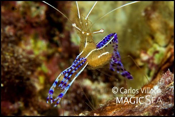 Pederson Cleaner Shrimp Under The Ocean Under The Sea Sea Birds