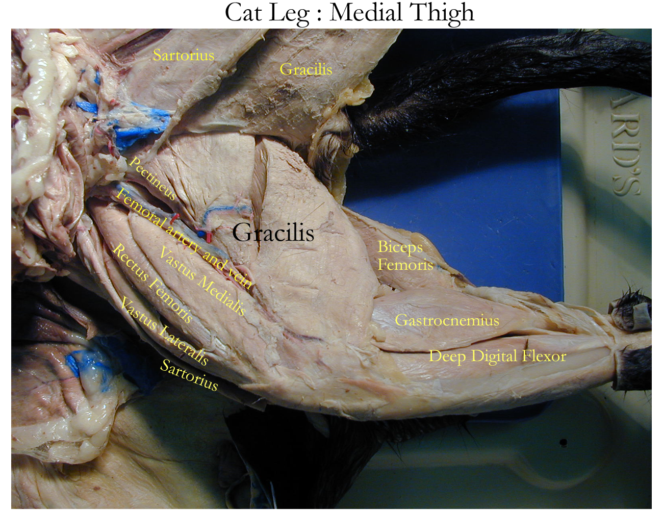 cat muscles Anatomy and Physiology Background