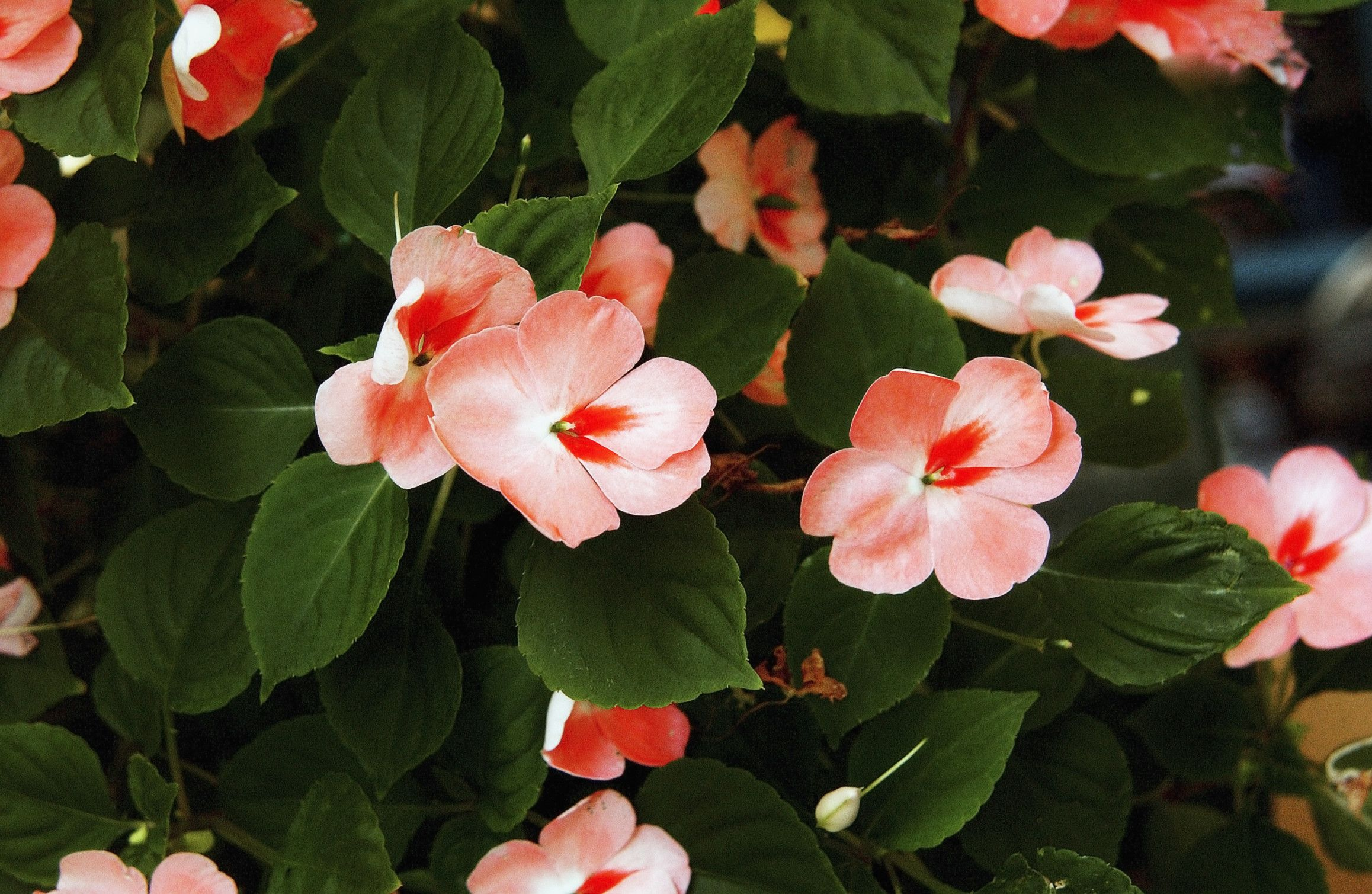 Are Impatiens Perennials Gardens My Second Home Pinterest