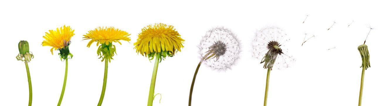 Dandelions: Beautiful Wildflower or Scourge Of Lawns Everywhere ...