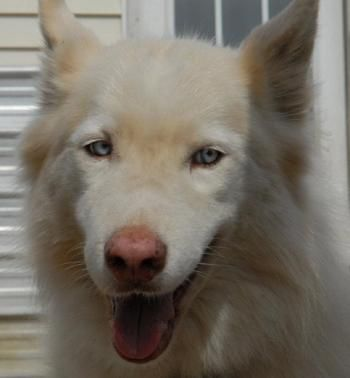 Siberian Husky Dog For Adoption In Raleigh Nc Adn 257836 On
