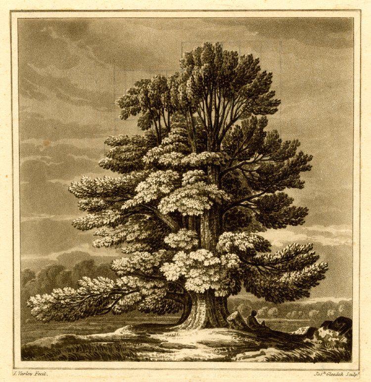 Joshua Gleadah after  John Varley, An elm tree standing isolated, 1818, Aquatint printed in brown ink