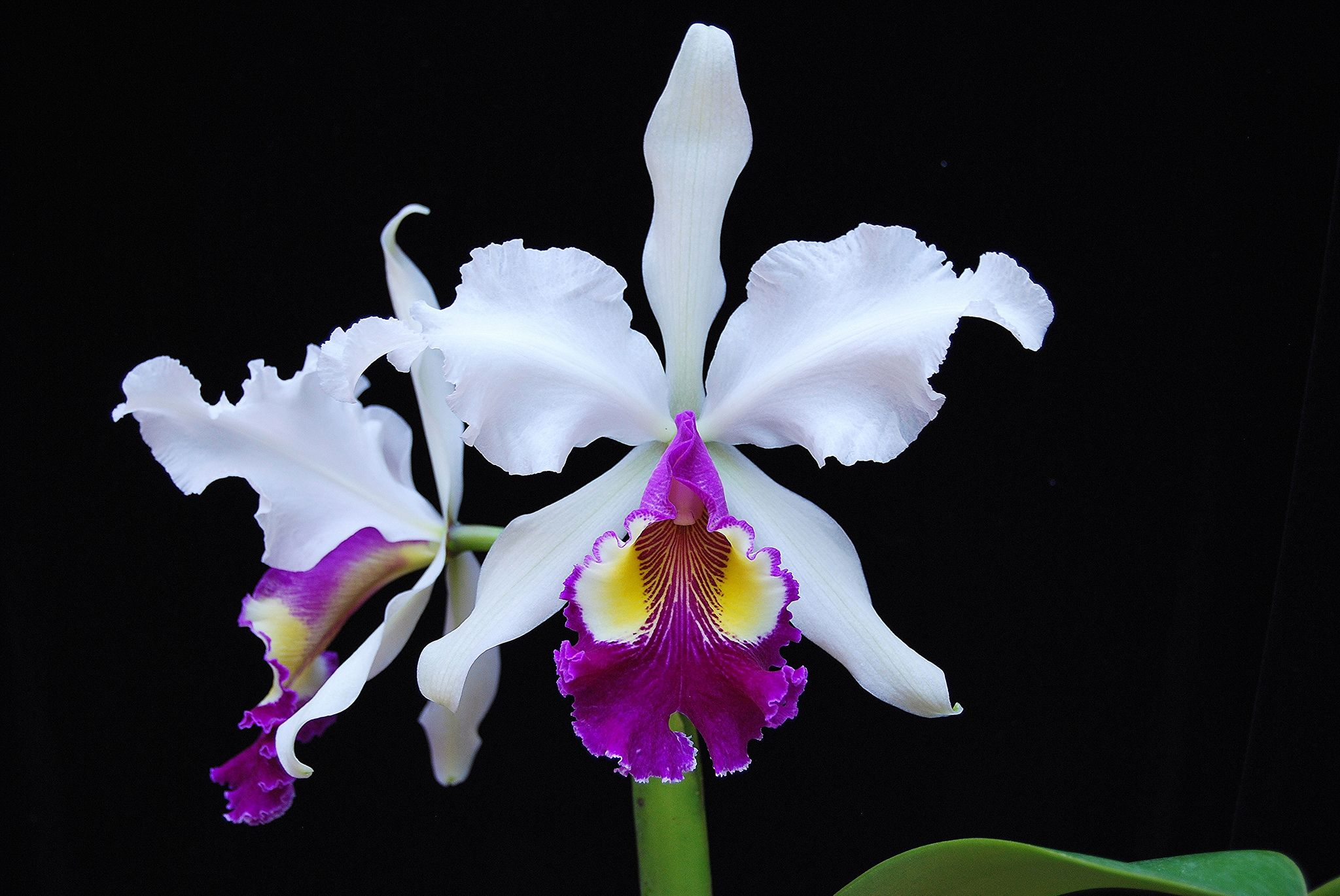 Cattleya Hardyana Semi Alba Noah Cattleya Orchid Flower Orchid Images