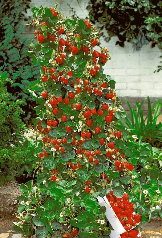 Red Climbing Strawberry Plant Seeds - Outstanding Marketplace, Better Shopping!