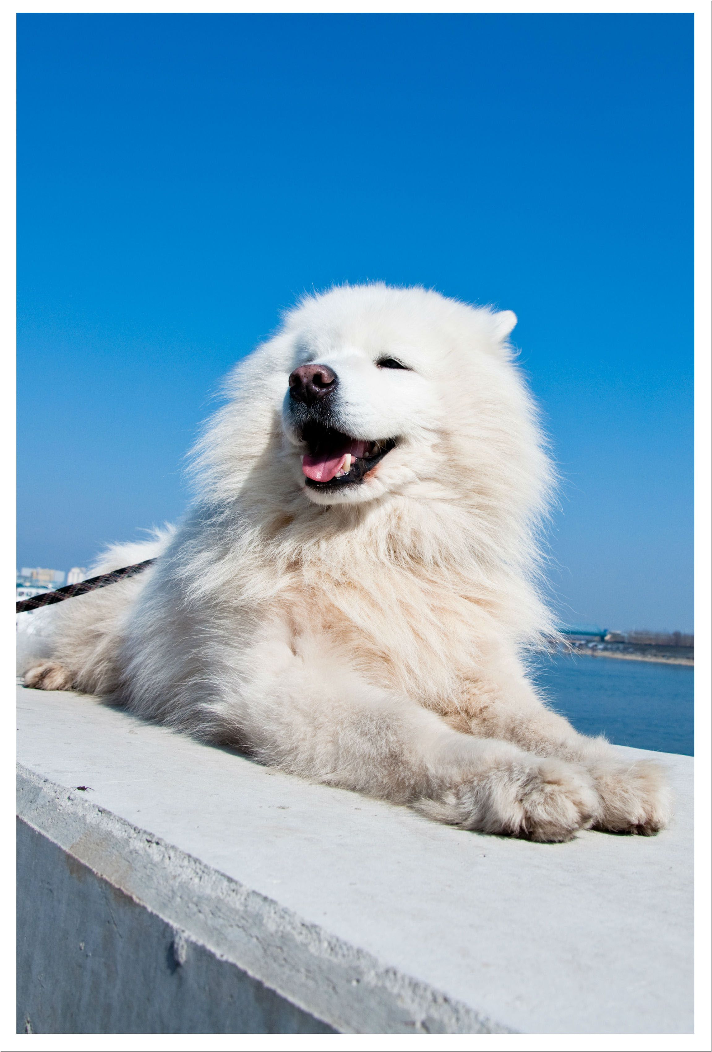 Top winter dog breeds american eskimo dog pinterest american